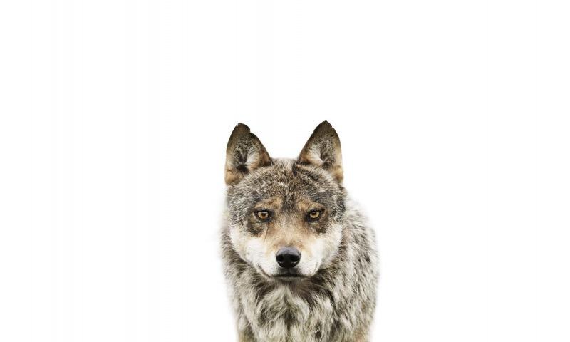 Σκύλος ή Λύκος: Τι σημαίνει Ελευθερία